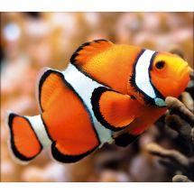 Kit ricamo diamante - Diamond Painting - Il pesce clown